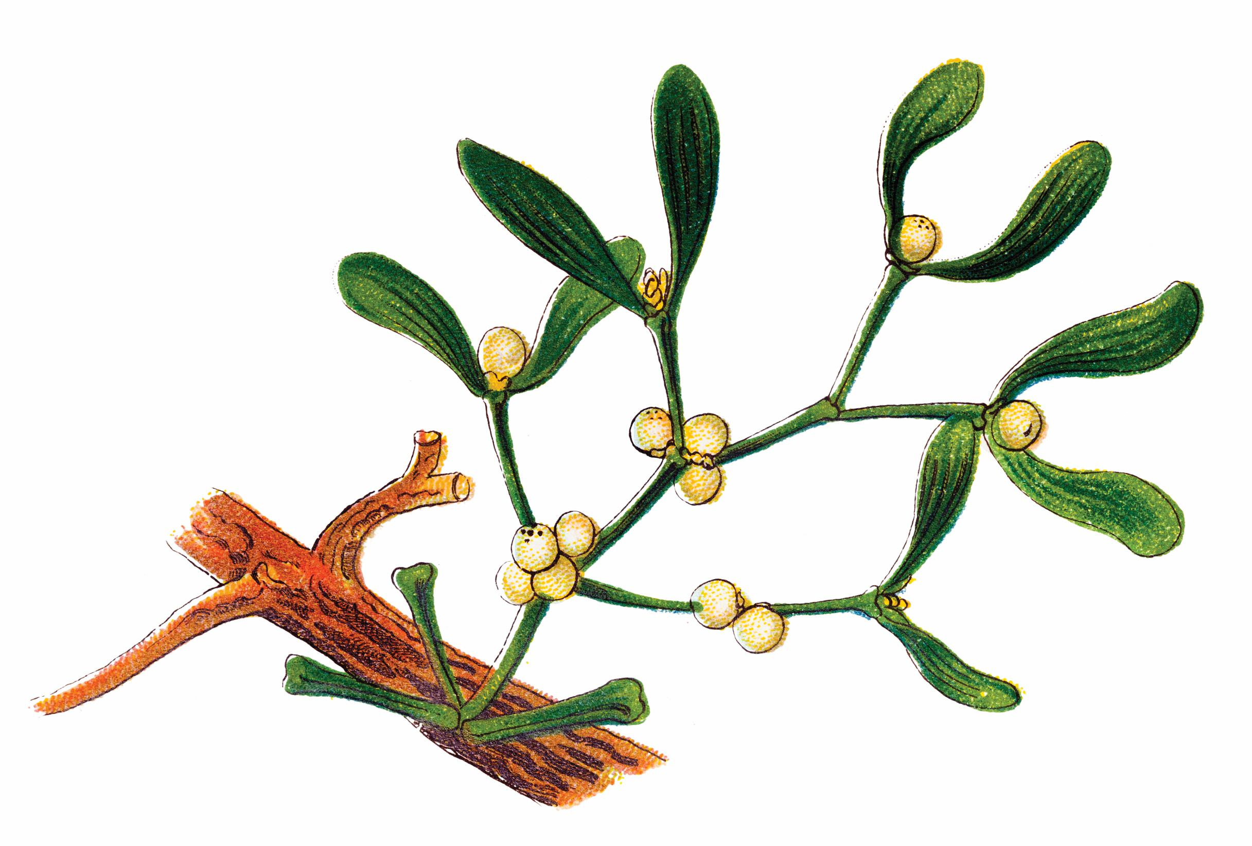 The Miracle Of Mistletoe Cancer Wellness
